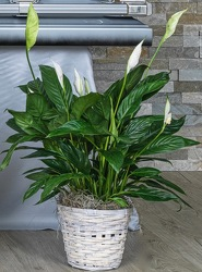 Peaceful Lily from Hafner Florist in Sylvania, OH